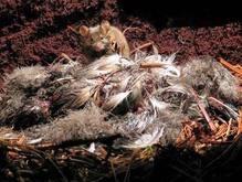 Британские орнитологи бьют тревогу: мыши-мутанты живьем поедают редчайших птиц
