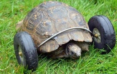 90-річній черепасі без лап приробили колеса