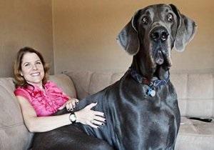 Самым крупным псом на Земле признан 110 - килограммовый датский дог Джордж
