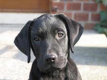 Список самых популярных собак в США в 17-й раз возглавил лабрадор