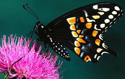 Белый дом встал на защиту пчел и бабочек