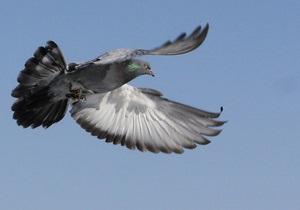 Почтовый голубь продан на торгах за треть миллиона долларов