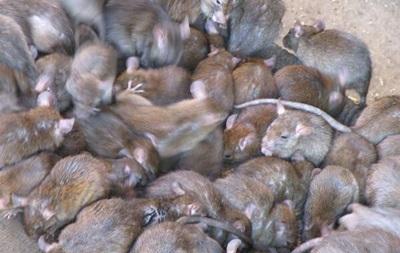 В Москве крыс больше, чем людей – Роспотребнадзор