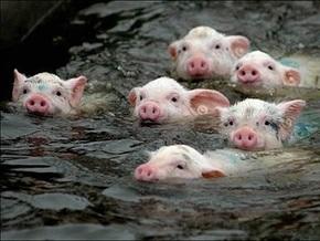 Эксперты не нашли связи гриппа А-H1N1 со свиньями