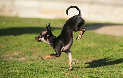 Собака из Калифорнии установила рекорд по бегу на передних лапах