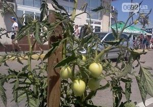 Новости Украины - странные новости:  В Севастополе на клумбах вместо цветов посадили помидоры