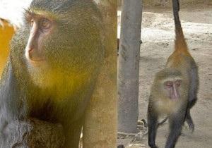 В Африке найден новый вид обезьян