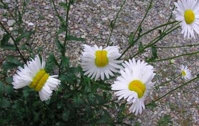 В Фукусиме выросли  ромашки-мутанты