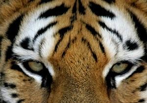 На Бали пройдет форум, посвященный проблеме исчезновения тигров на планете