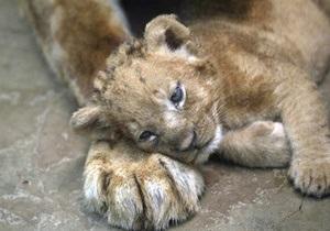 Одесский зоопарк ищет имя для львенка, которого бросила мать