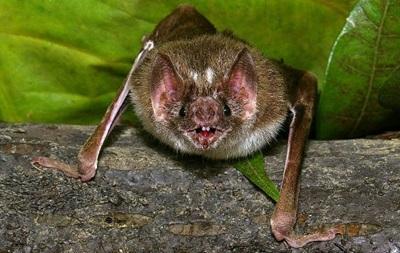 Летучие мыши делятся выпитой кровью – ученые