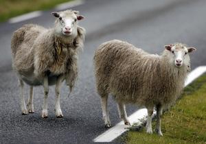Водители в Мельбурне попали под  дождь из овец