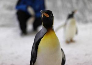 Новости науки: Ученые выяснили, как птенцам пингвинов удается месяцами жить без пищи