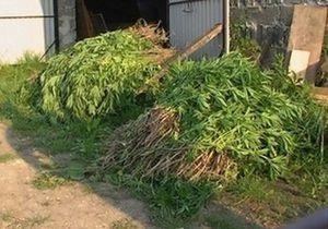 В Черкасской области обнаружили около двух гектаров конопли