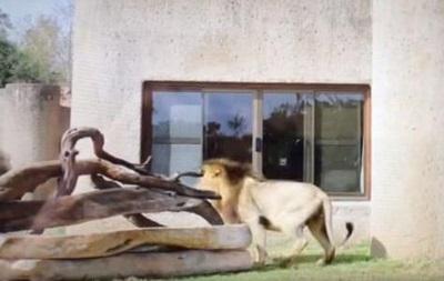 Лев злякався свого віддзеркалення під час сафарі