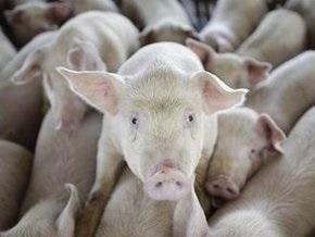 Пресса обнародовала факты жестокого обращения со свиньями в Египте