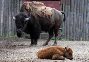 новости Киева - зубр - зоопарк - В киевском зоопарке родился европейский зубр