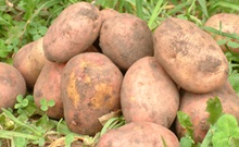 ООН объявила фотоконкурс картофеля