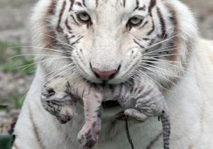 Тигрюля вновь привела потомство