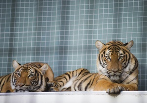 В России посетитель зоопарка разделся перед тиграми