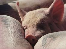 Северная Осетия: объявлена чрезвычайная ситуация в связи со свиной чумой
