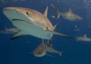 К побережью Австралии приплыли более сотни акул