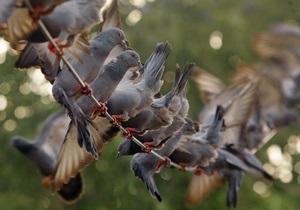 Ученые нашли сходство между голубями и вертолетами