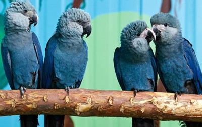 В Бразилии впервые за 15 лет замечен голубой ара