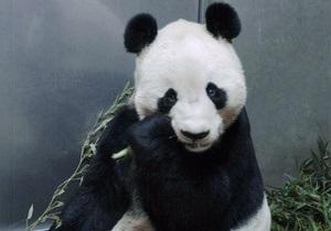 Смерть панды в японском зоопарке грозит обострением отношений между Китаем и Японией