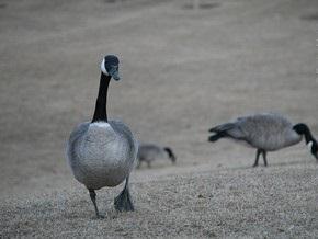 В Харьковской области погибли сотни диких гусей