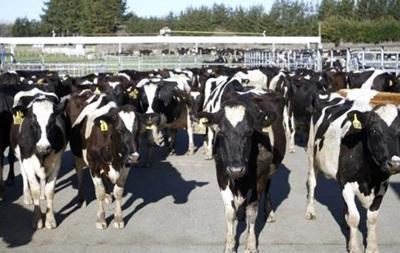 В Новой Зеландии расследуют исчезновение 500 коров
