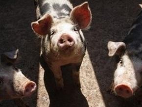 В Канаде фермер заразил стадо свиней гриппом A/H1N1