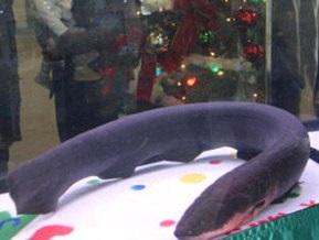 В японском аквариуме гирлянду на рождественской елке зажжет угорь