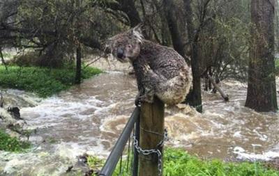 Коала пережила стихійне лихо в Австралії