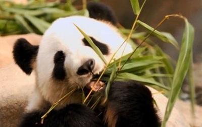 В Гонконге скончалась старейшая панда из живущих в неволе