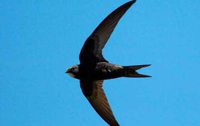 Обнаружили птиц, которые способны непрерывно летать 10 месяцев