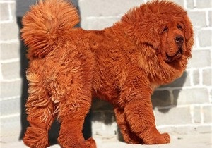 В Китае продан самый дорогой щенок в мире за $1,5 млн