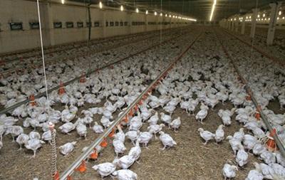 В Японії через пташиний грип знищать сотні тисяч курей і качок