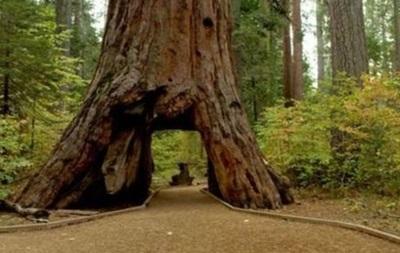 У Каліфорнії впала знаменита секвойя з тунелем в стовбурі
