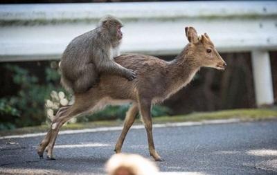 Японський макака зайнявся сексом з самкою оленя
