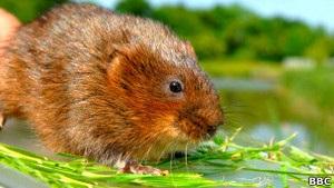 Ученые: Для водяных крыс размер пениса имеет значение