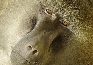 Французы научили бабуинов различать отдельные слова
