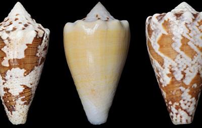 Вчені знайшли заміну морфію в отруті морських равликів
