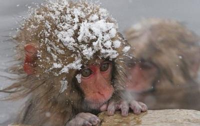 У японському зоопарку усипили 57 макак через  чужорідні  гени