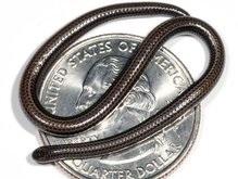 Найдена самая маленькая в мире змея