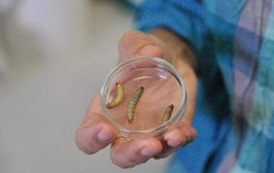 Ученые нашли гусениц, которые поглощают пластик