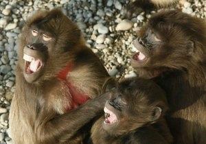 Новости науки: Улыбка обезьян заразительна