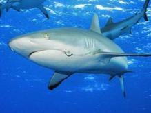 Чипы помогут установить причины агрессии акул