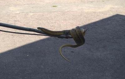 В Днепре поймали двухметровую змею