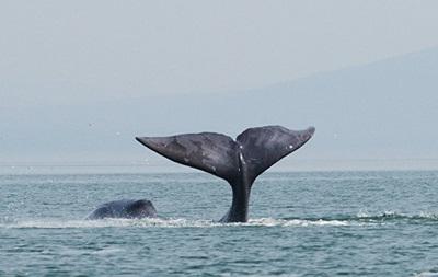 В России в устье реки застрял 13-метровый кит